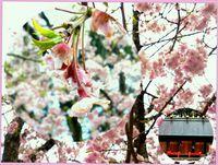 露桜  垂れ輝く…