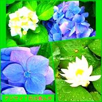 紫陽花(あじさい)の 色七変化