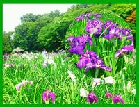 オカリナのある風景満開の花菖蒲と森の小径(こみち)